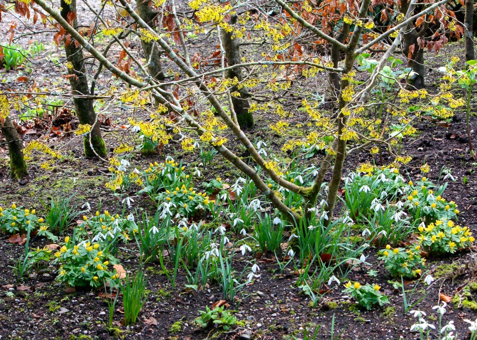 Witch hazel, aconites and snowdrops, Bosvigo, February 2015