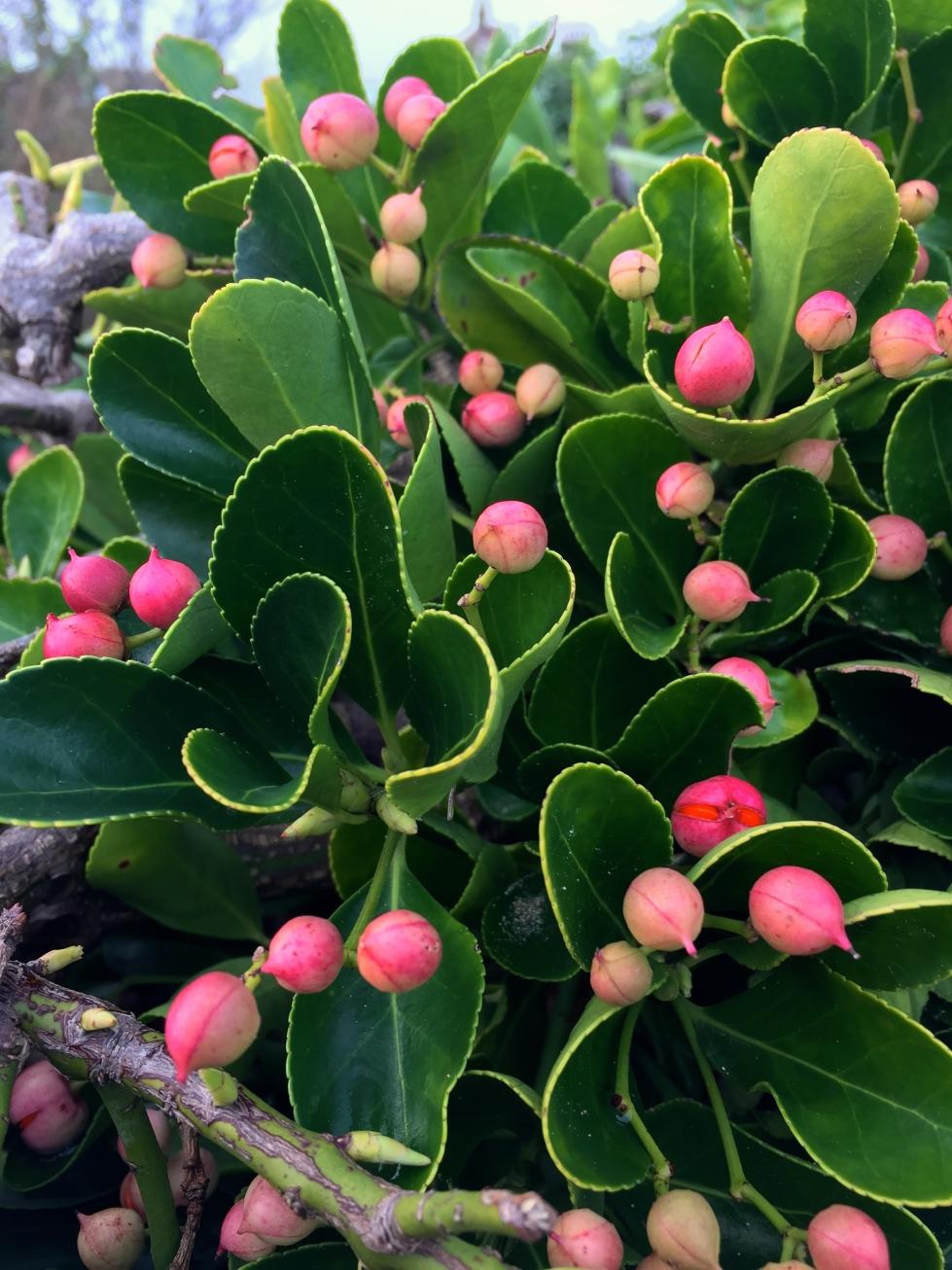 Euonymus japonicus, Victoria Gardens, Broadstairs, Jan 2015