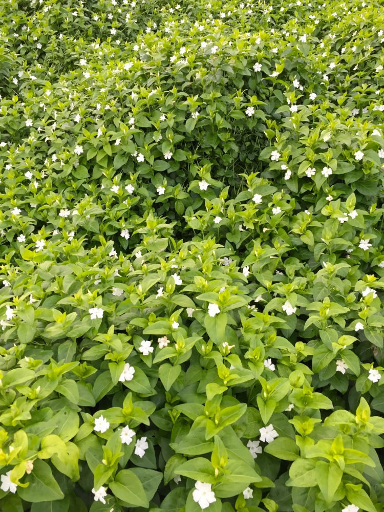 Vinca major 'Alba' flowering in the depths of January