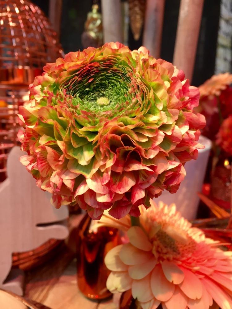 Pon-Pon Ranunculus 'Trilly'