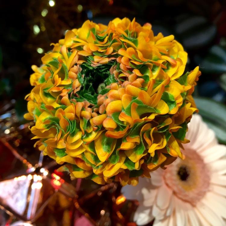 Pon-Pon Ranunculus 'Merlino'
