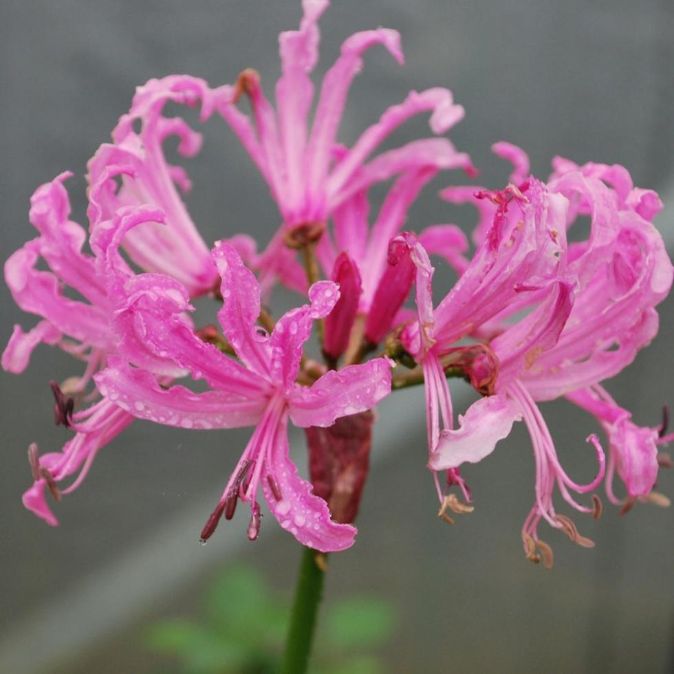 Nerine bowdenii 'Pink Triumph' (Photo: Rose Cottage Plants)