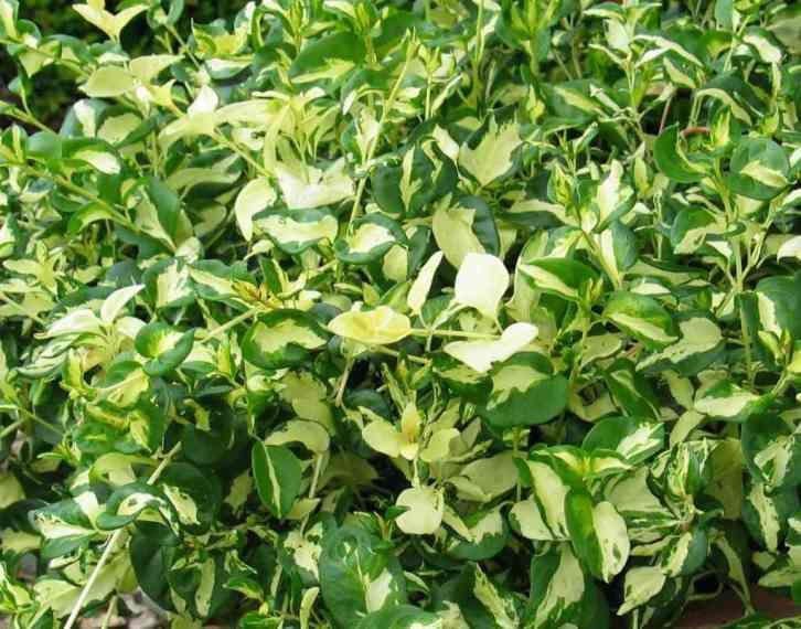 Foliage of Vinca major 'Wojo's Gem'