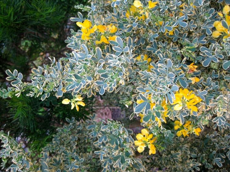 Coronilla valentina subsp. glauca 'Variegata' (Photo: Vincent Dunne)