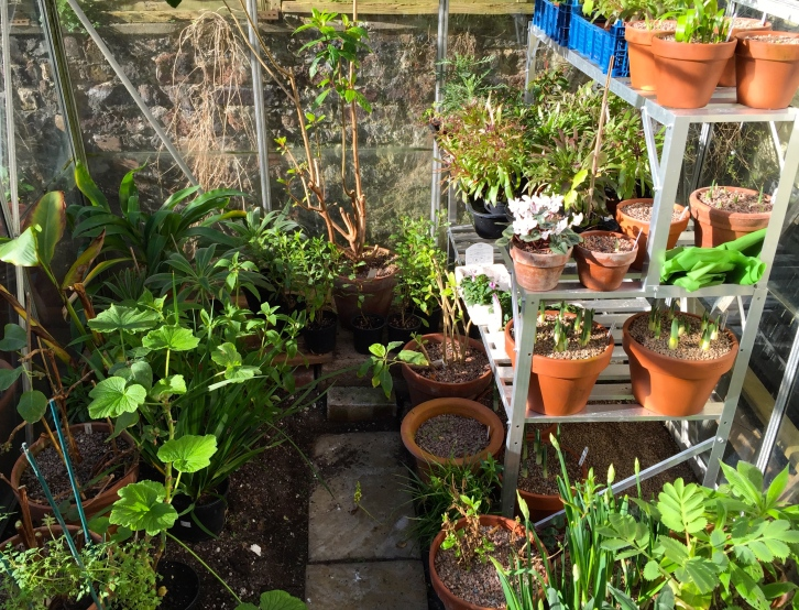 Greenhouse, Polegate Cottage,February 2016
