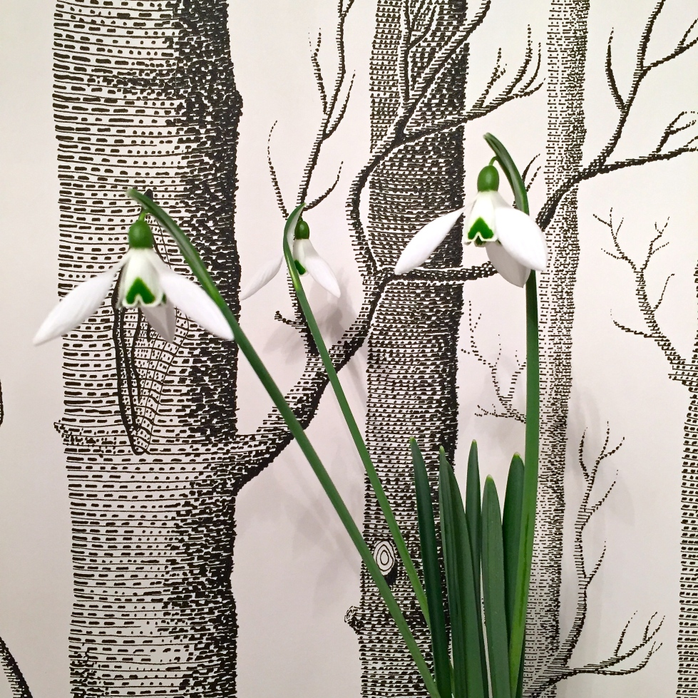 Galanthus 'Seagull', London, February 2016