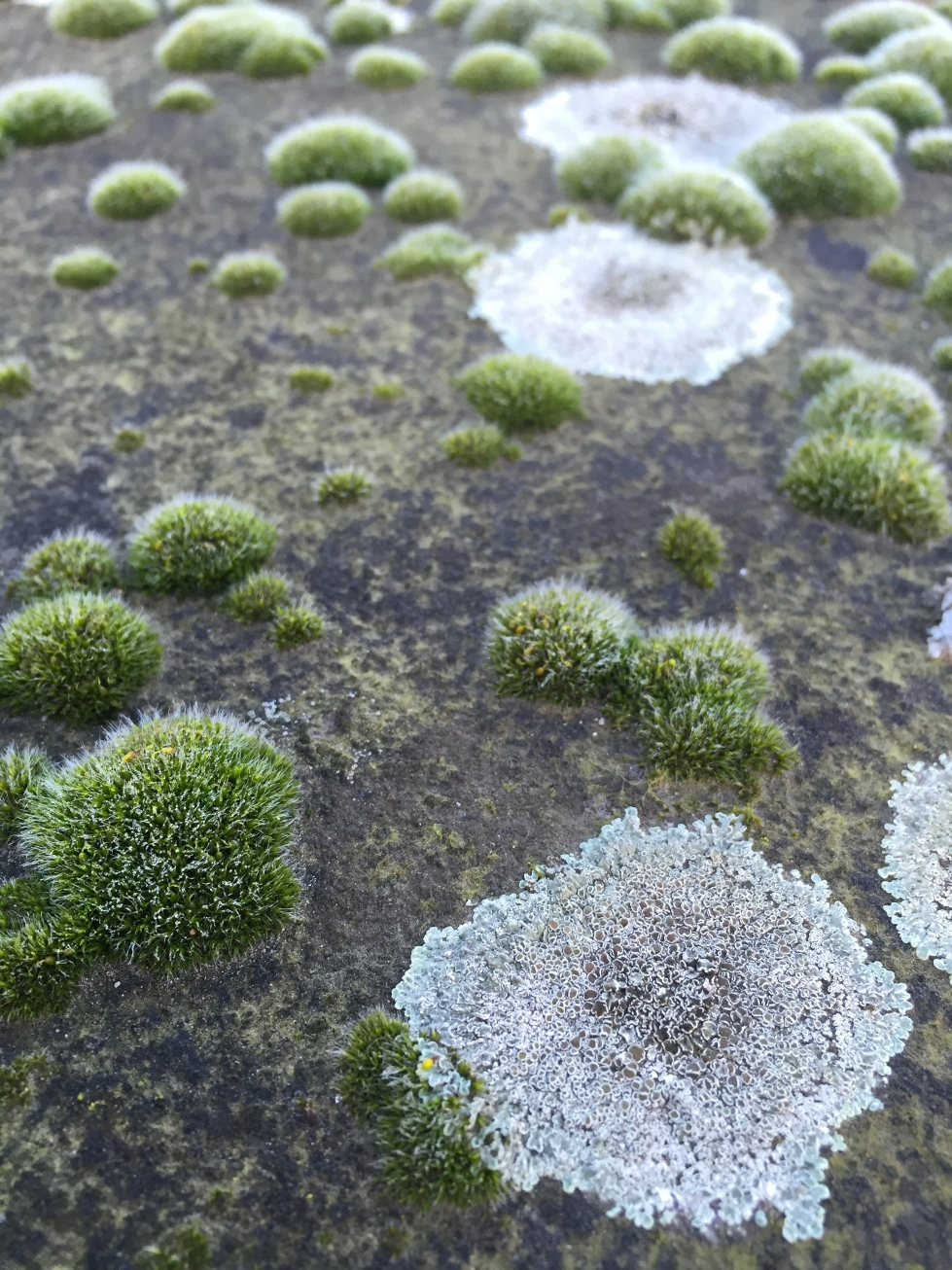 Mosses and lichens, Acton, February 2016