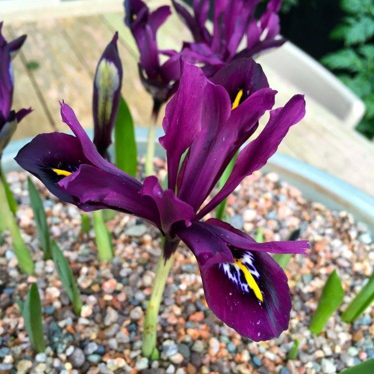 Iris histrioides 'George', The Watch House, February 2016