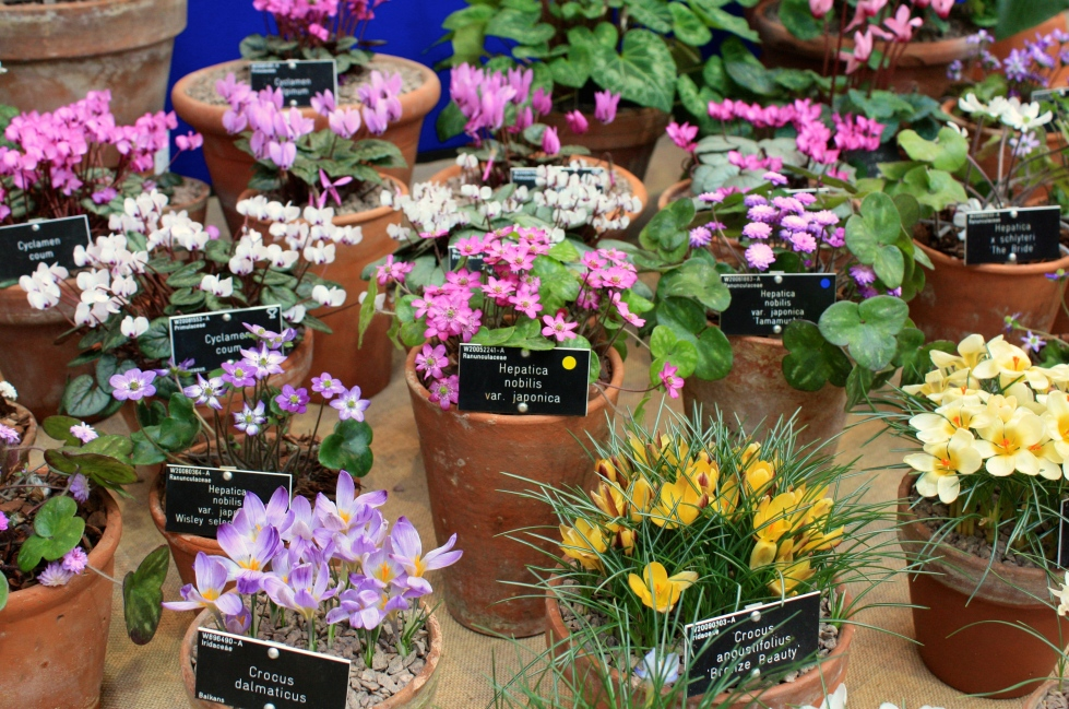 A display of hepaticas, crocuses and cyclamen staged by RHS Garden Wisley