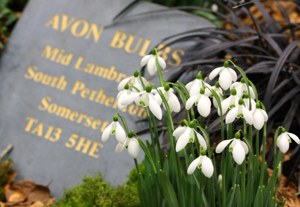 Avon Bulbs staged a tremendous display of snowdrops
