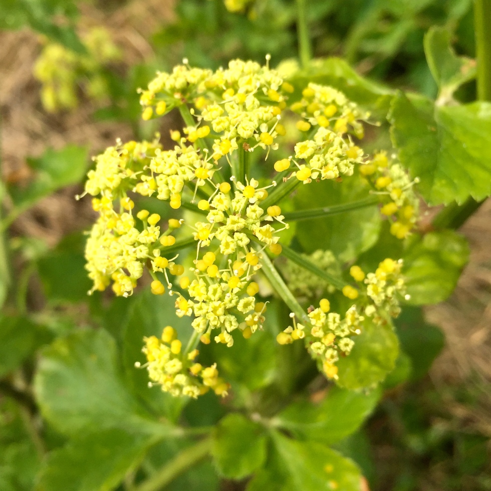 Alexanders (Smyrnium olusatrum) is one of the first wild plants to flower on the clifftops
