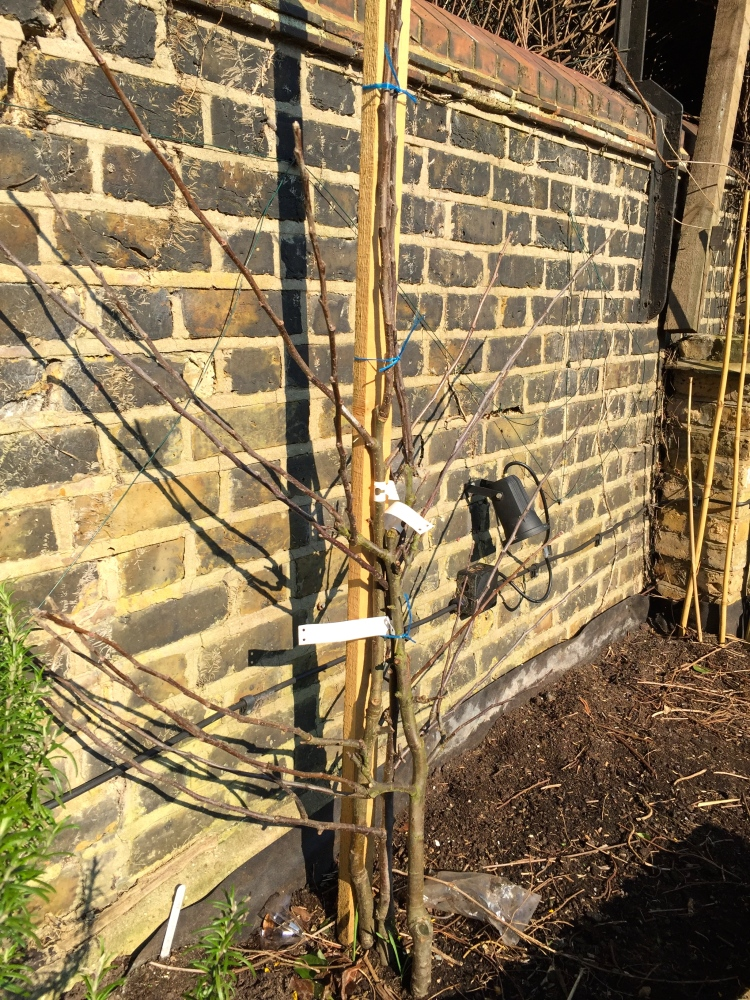 New fruit trees can be heeled in over winter but need to be planted in their final position before growth starts