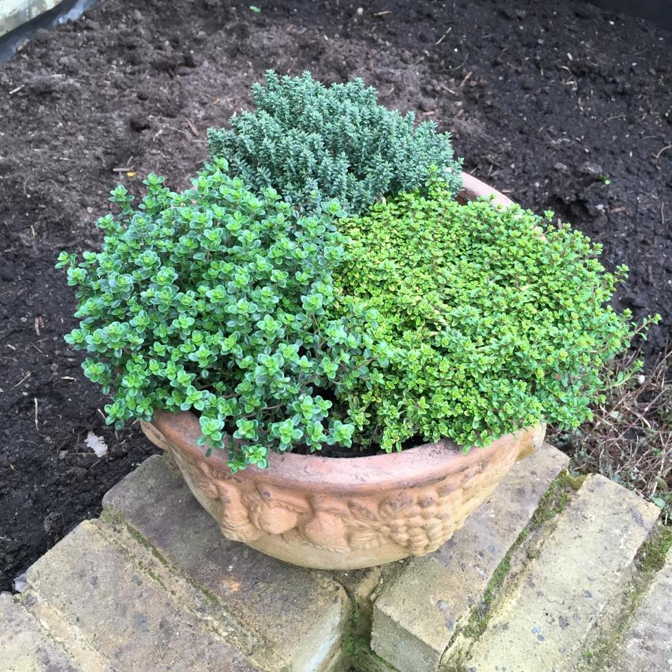 Thymus pulegioides 'Bertram Anderson', Thymus vulgaris 'Faustini' and Thymus citriodorus
