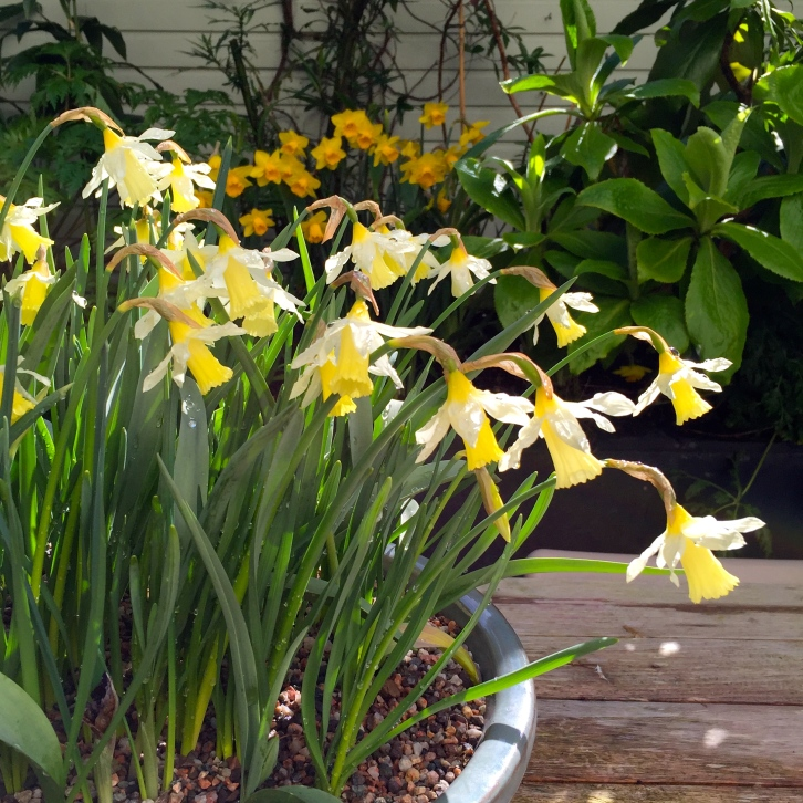 Narcissus 'Elka', The Watch House, March 2016