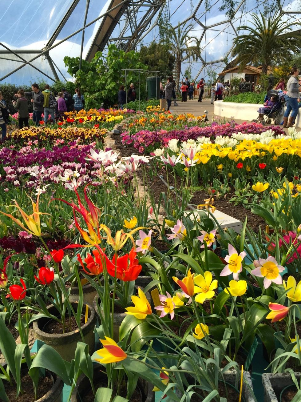 Crowd pleasing displays of tulips in the Mediterranean biome