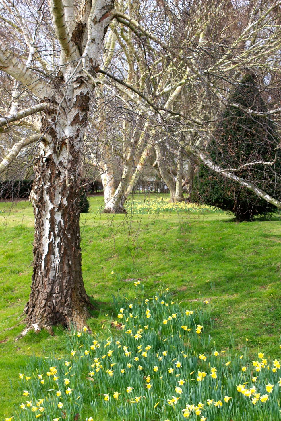 birches and narcissi, Goodnestone Park, February 2016
