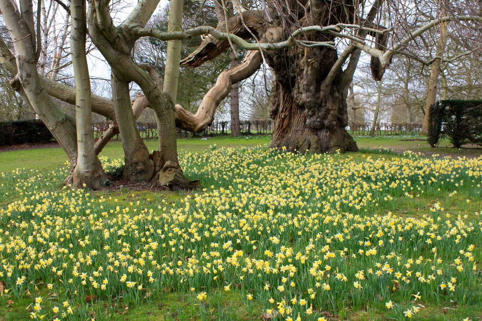 Sweet chestnut and narcissi, Goodnestone Park, February 2016