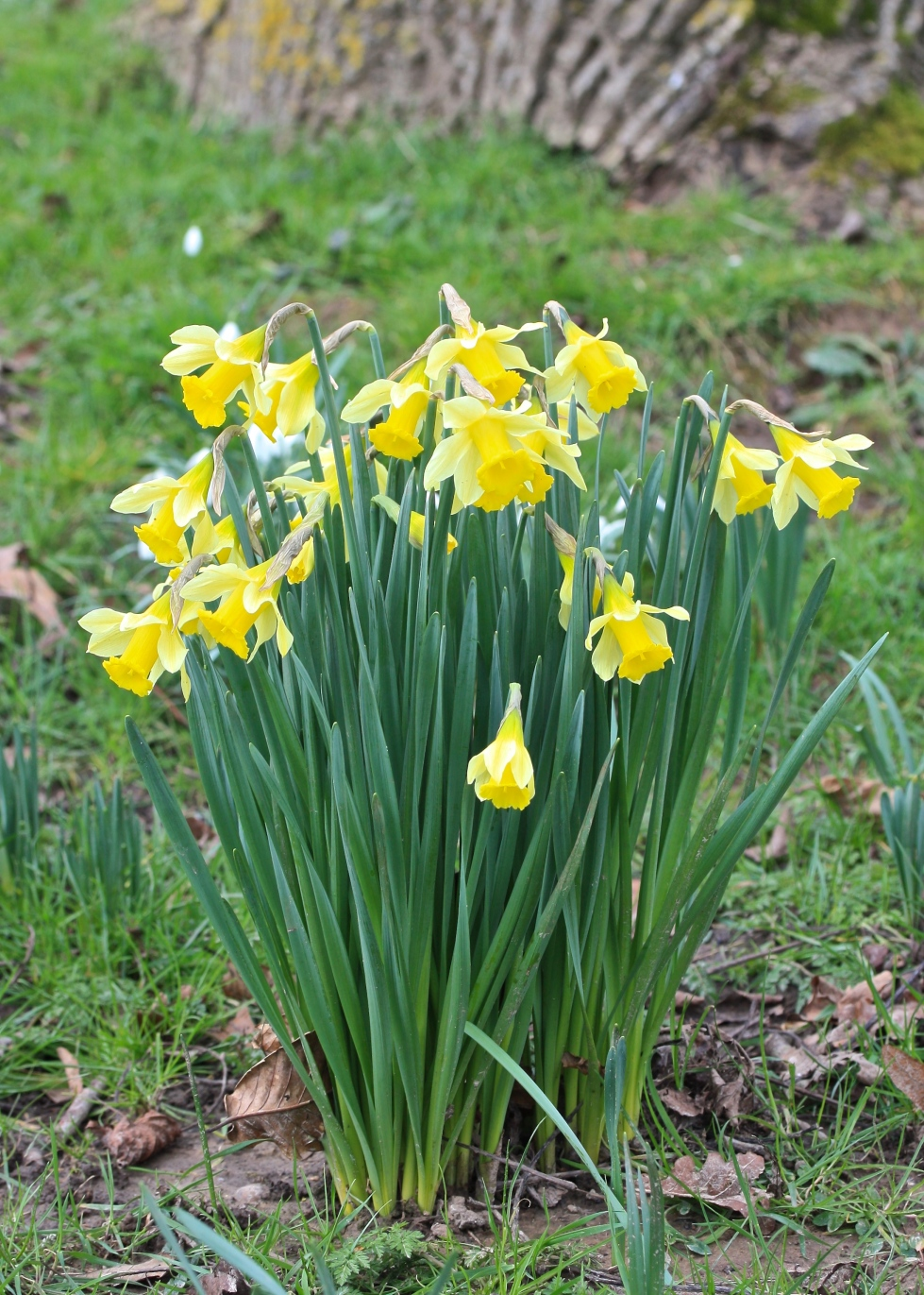 NarcNarcissi, Goodnestone Park, Kent, February 2016