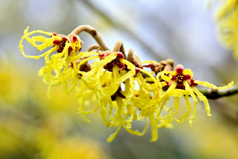 yellow witch hazel (hamamelis), Goodnestone Park, February 2016
