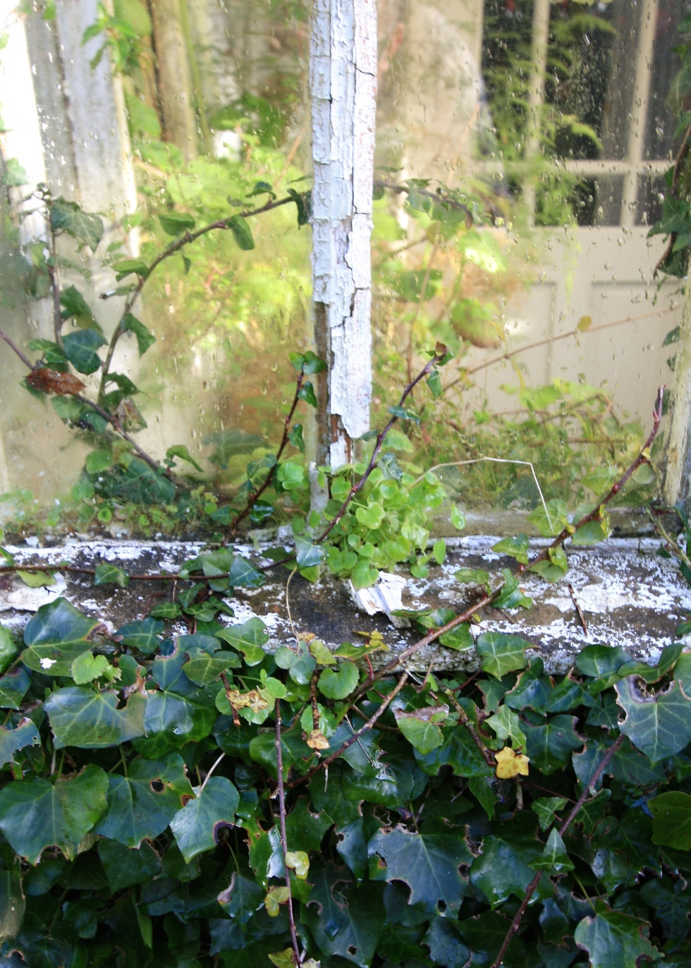Ivy, The Farmhouse porch, Trevoole, March 2016