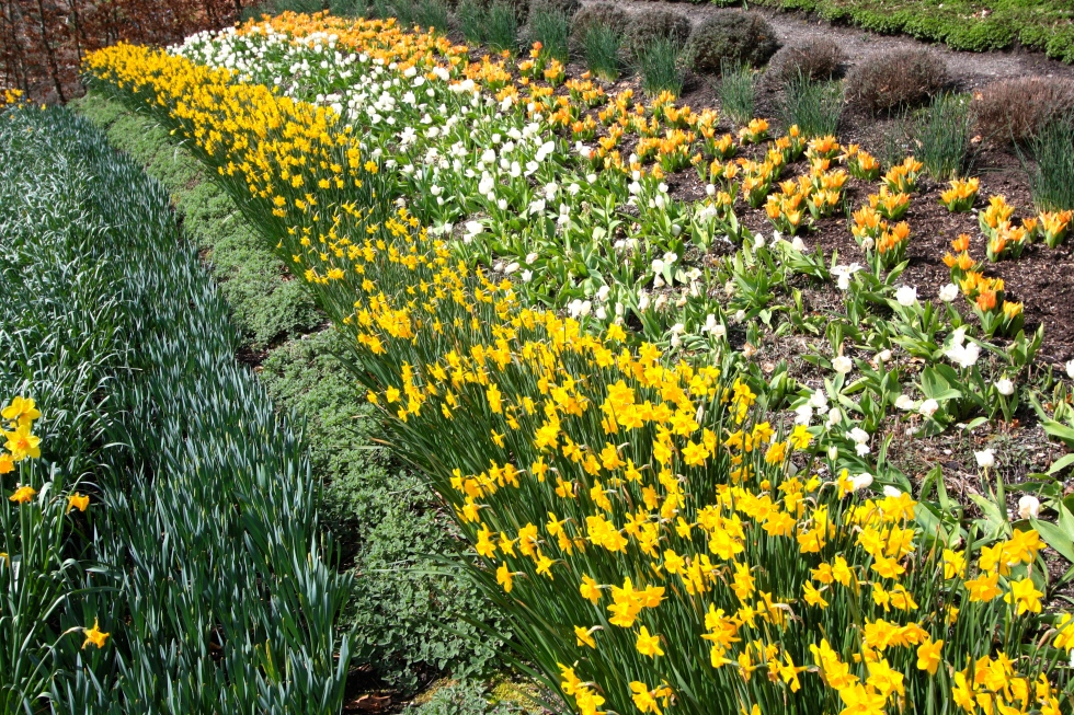 Outdoor plantind, daffodils, spring bulbs, The Eden Project, March 2016