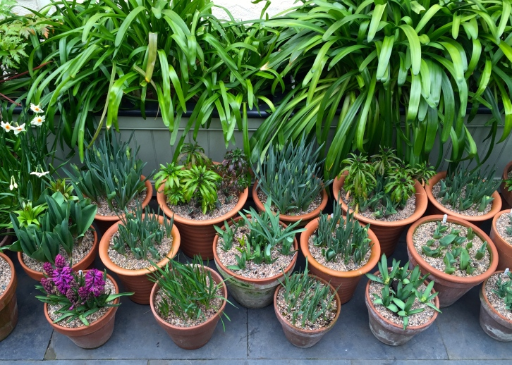 By placing larger pots of taller bulbs at the back and smaller pots of miniature bulbs at the front, a nicely tiered display can be created