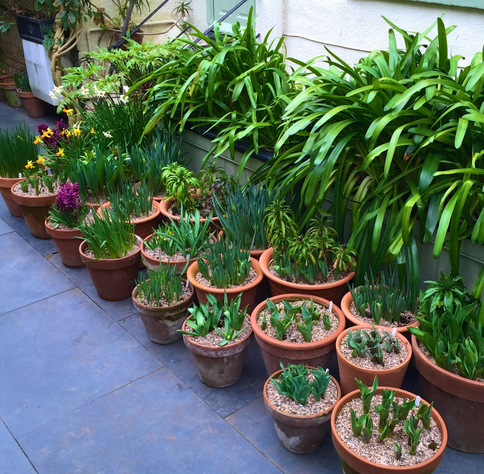 No longer waiting in the wings, potted bulbs wait to put on a show at The Watch House