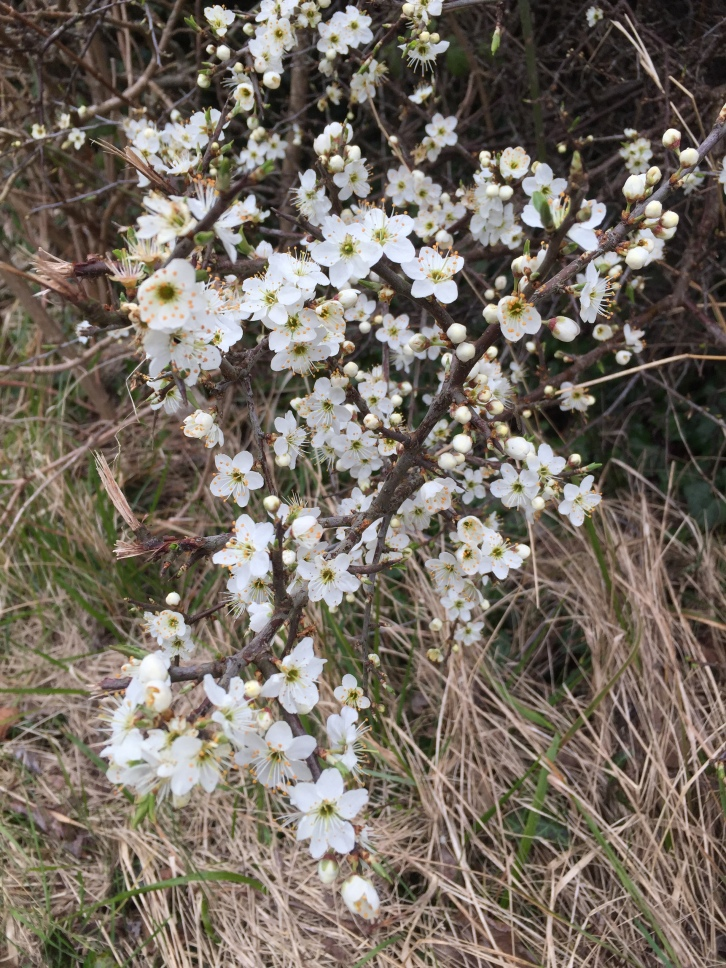 Blackthorn, Kingsdown, Kent, April 2016