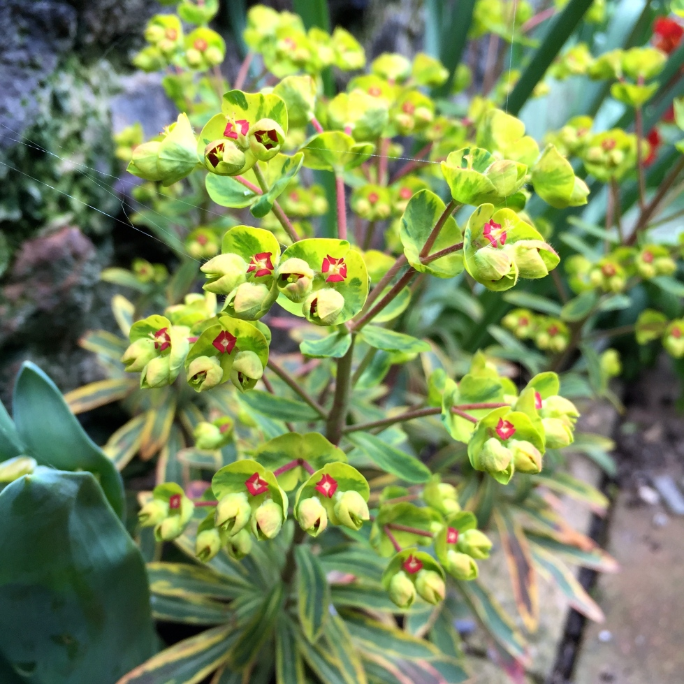 "Bright lights: Euphorbia x martini ""Ascot Rainbow"""