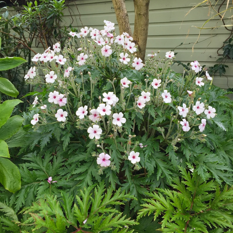 "Geranium maderense ""Guernsey White"", The Watch House, April 2016"