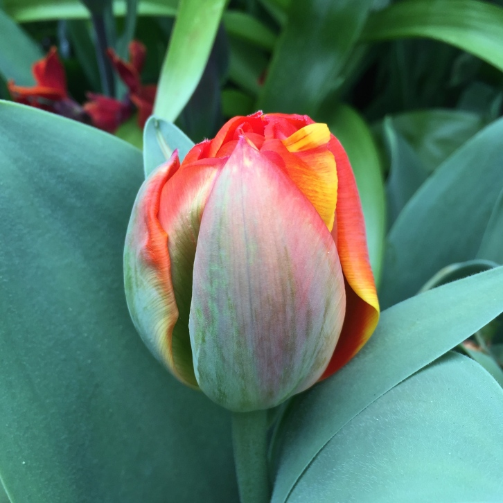 """Tulipa """"Queensday"""" bud, The Watch House, April 2016"""