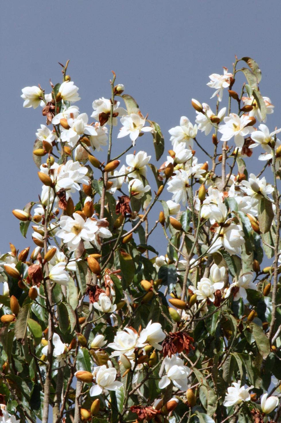 Magnolia (Michelia) doltsopa, Burncoose, Cornwall, March 2016