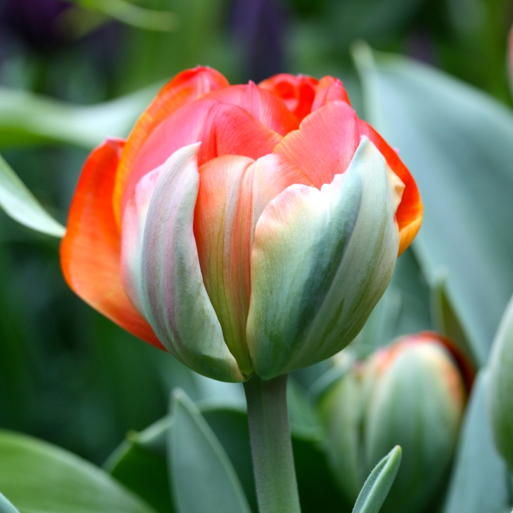 "Tulipa ""Queensday"""