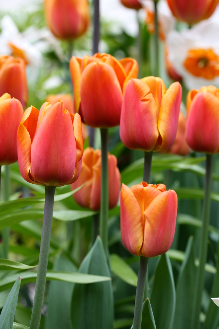 "Tulipa ""Brown Sugar"" is tall, sturdy and reliable"