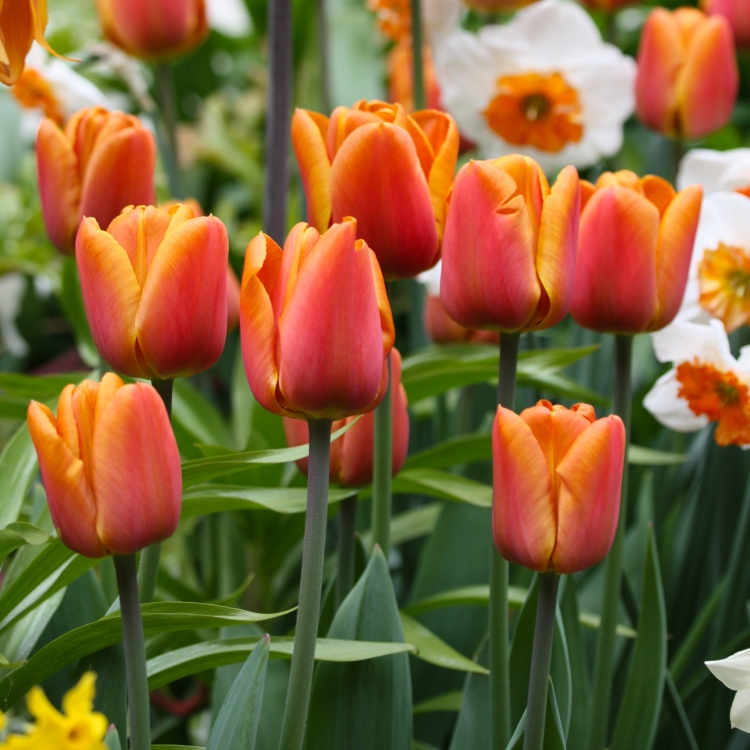 "Tulipa ""Brown Sugar"", The Watch House, April 2016"
