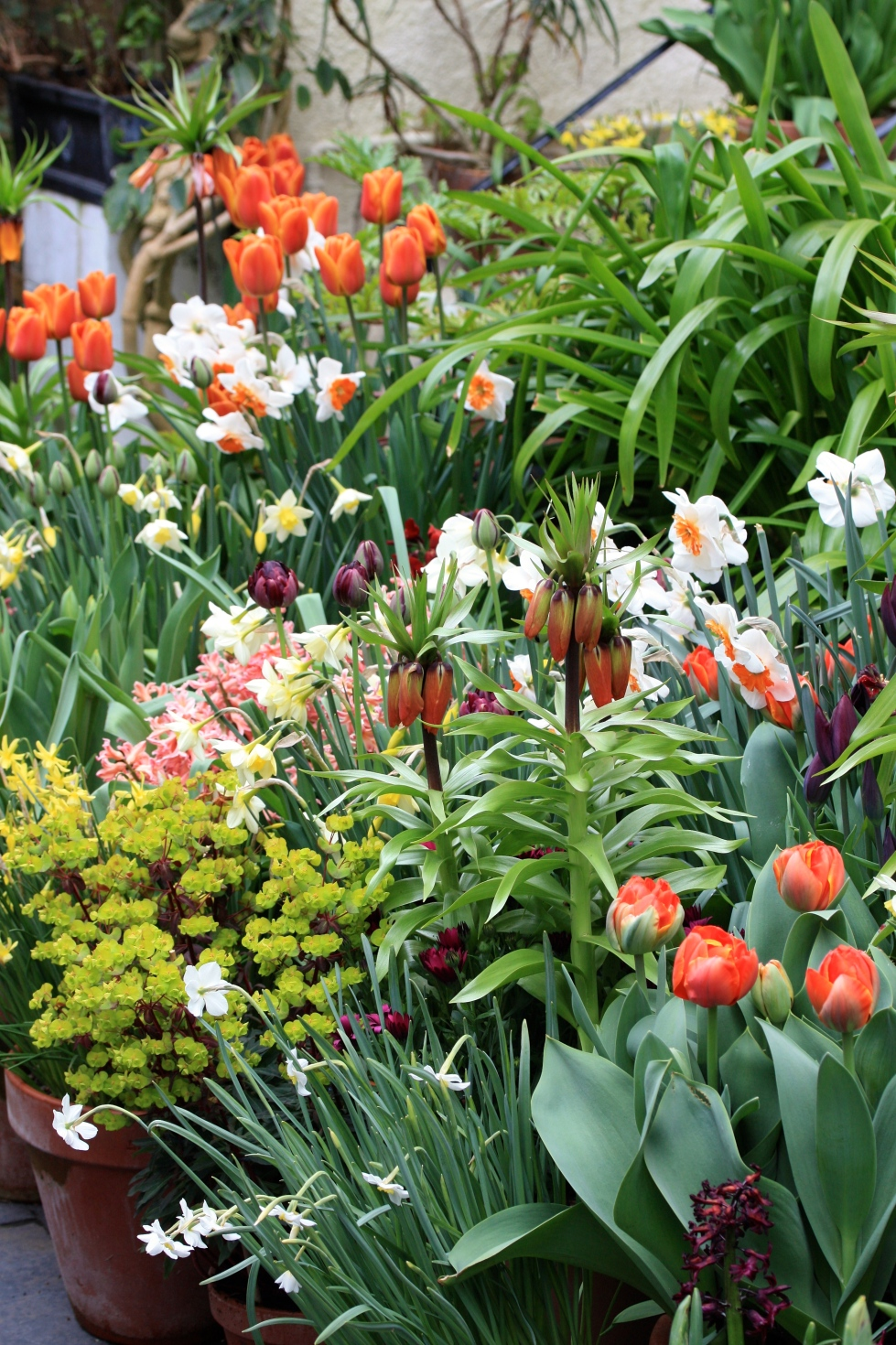 Bulbs grown in massed pots help to support one another