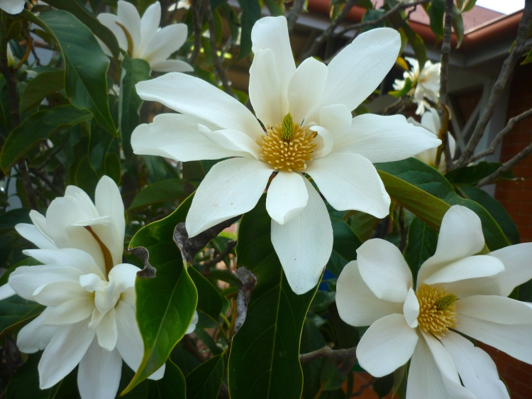 Magnolia (Michelia) doltsopa