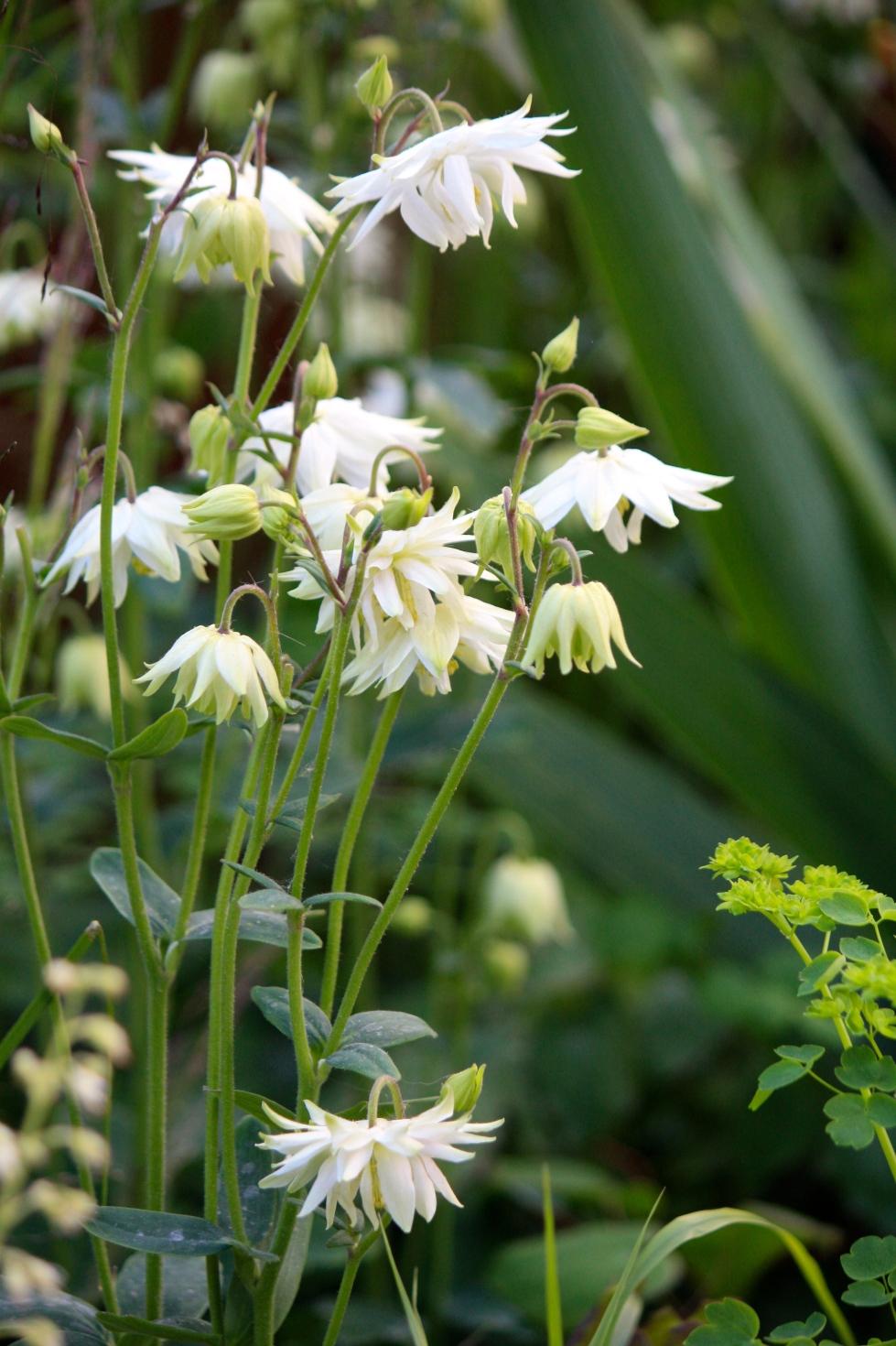 "Aquilegia vulgaris var. stellata ""White Barlow"""