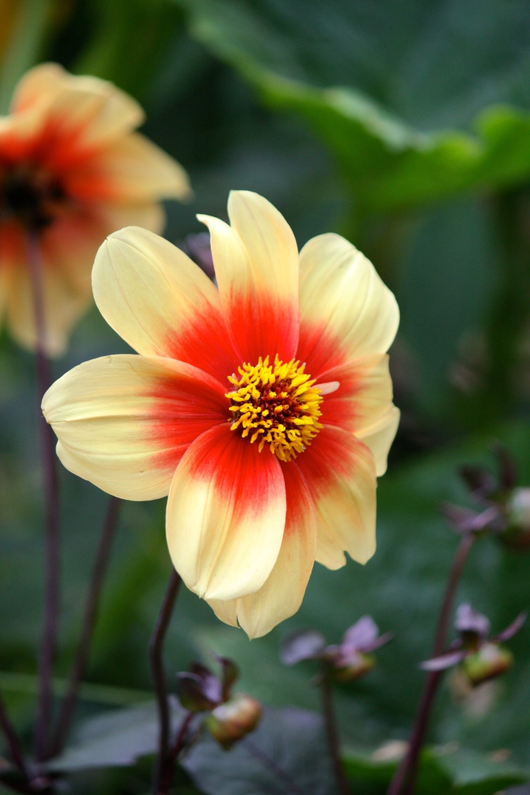 "Dahlia ""Happy Single Date"""
