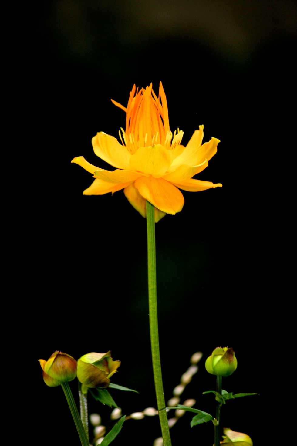 "Trollius chinensis ""Golden Queen"" with Melica altissima ""Alba"""