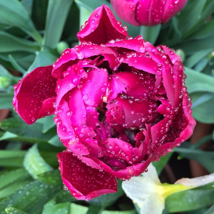 """Tulipa """"Antraciet"""""""