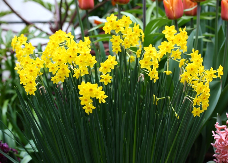 "Narcissus ""Baby Boomer"" possesses grace, stature and staying power"