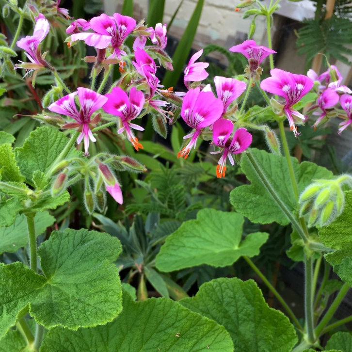 Geranium papilionaceum, Polegate Cottage, May 2016