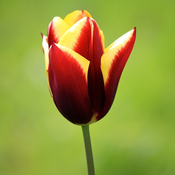 "Tulip ""Gavota"" emerging from the orchard sward"