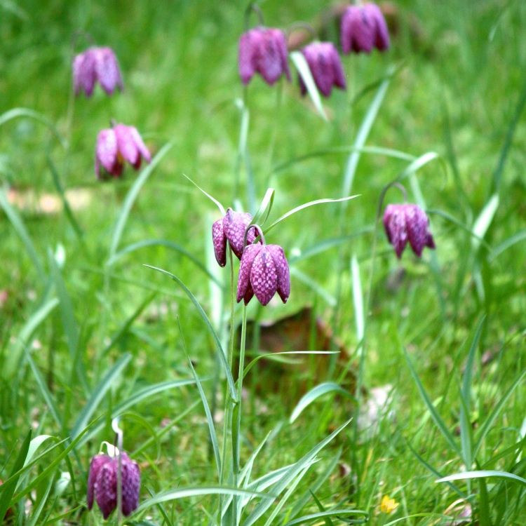 Snake's head fritillaries (Fritillaria meleagris) in Archbishop Courtenay's Garden