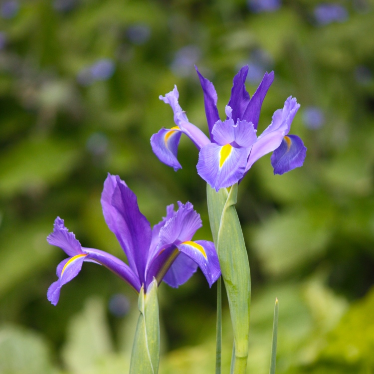 Dutch iris (Iris × hollandica)