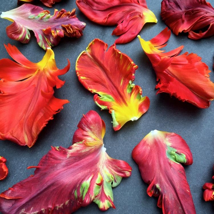 "Tulipa ""Rococo"" petals, The Watch House, May 2016"