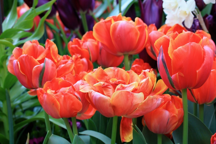 "More Tulipa ""Queensday"", an exceptional, orange-scented double tulip"