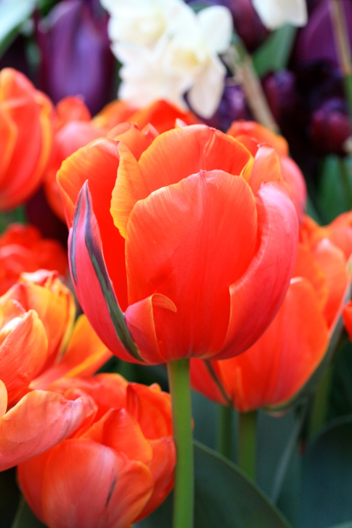 "There is nothing digitally enhanced about this image of Tulipa ""Queensday"", which produces flowers in scorching neon-orange"