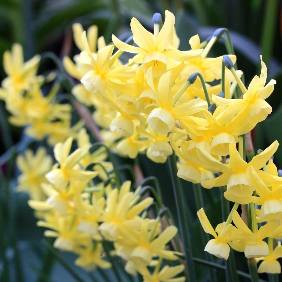 "Floriferous Narcissus ""Hawera"""